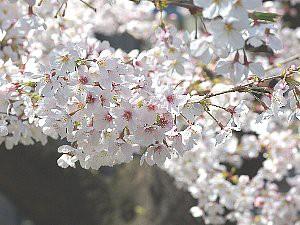 平成28年の桜